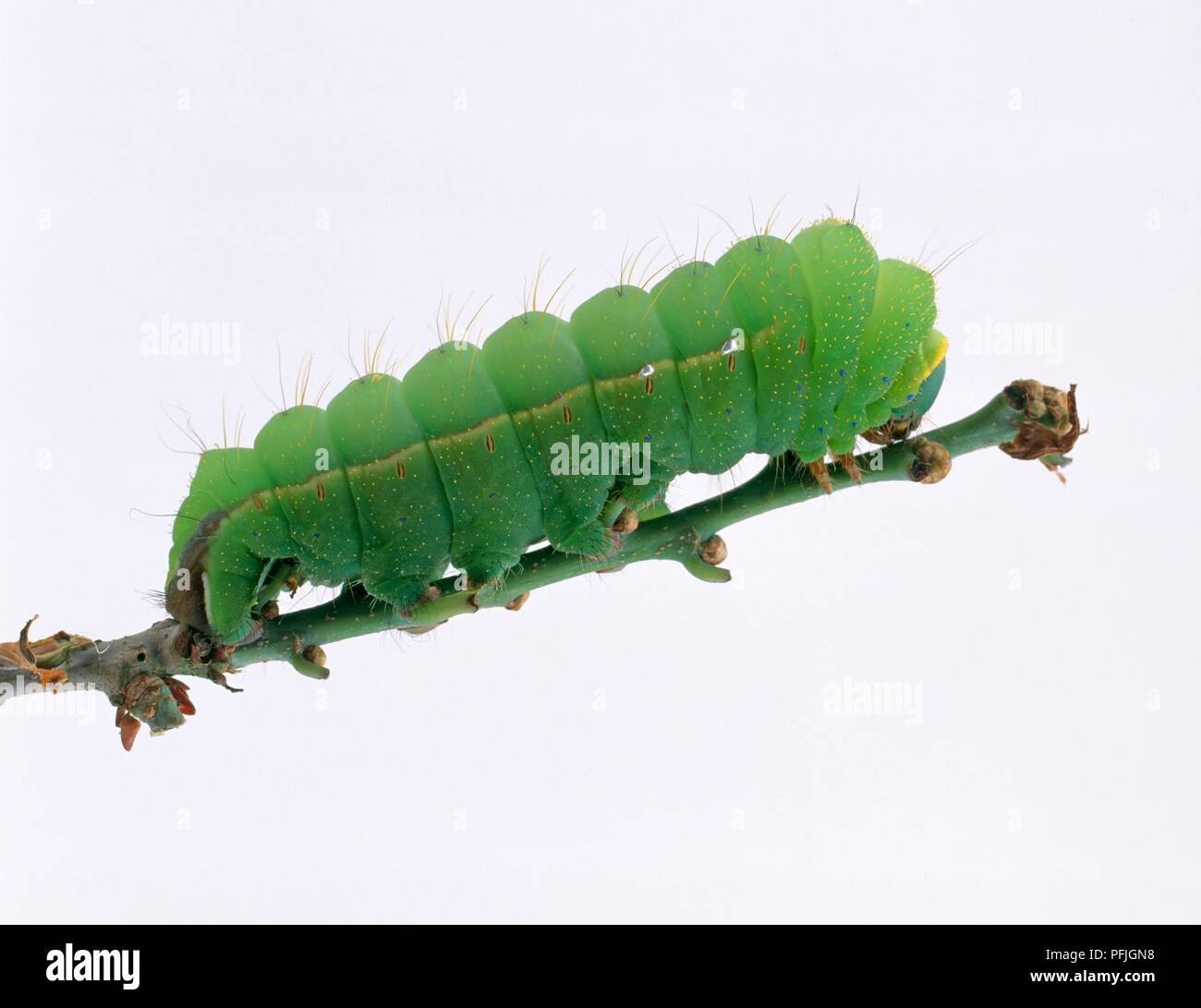 Chinese oak silk moth (Antheraea pernyi) caterpillar on stem Stock Photo