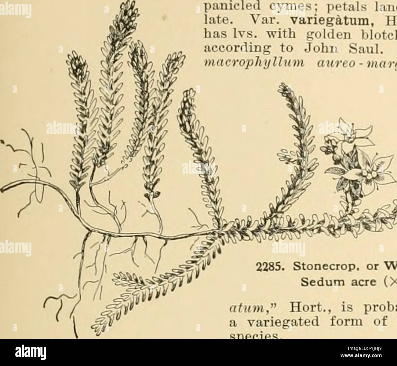200 Semi Fiore-Sedum spurium-Coccineum
