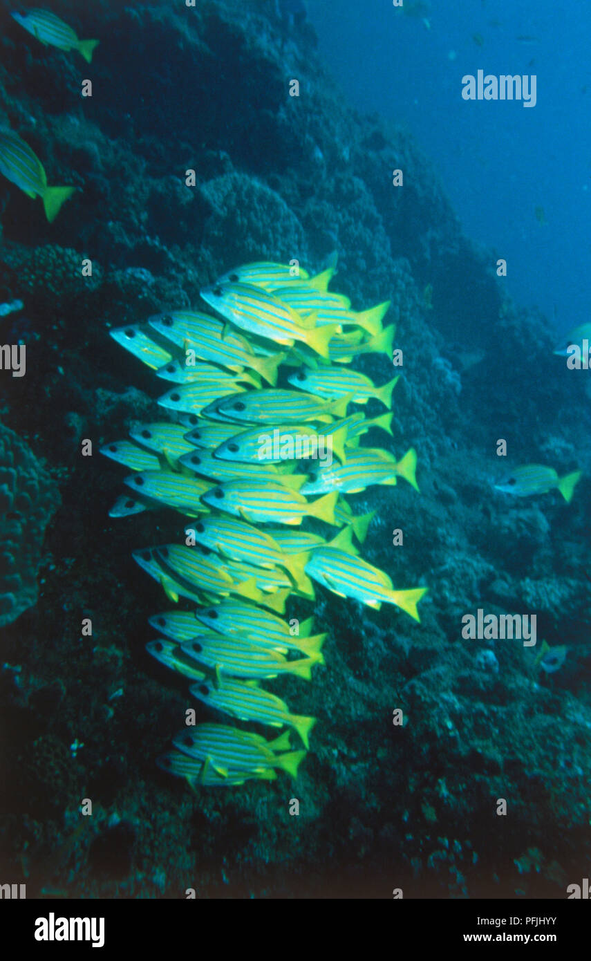 Shoal of yellow and turquoise fish swimming underwater. - Stock Image