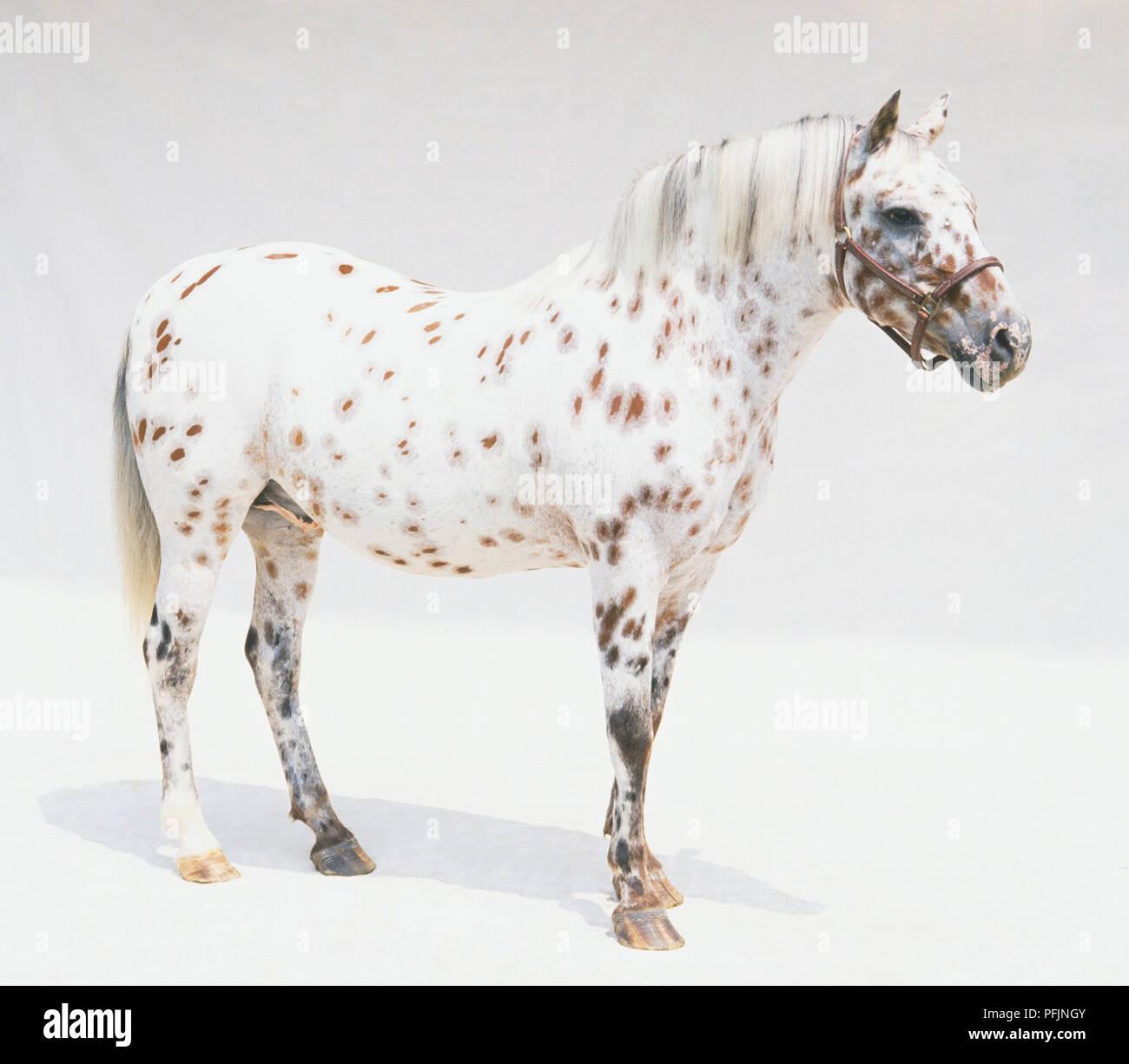 Appaloosa Pony Stock Photos & Appaloosa Pony Stock Images