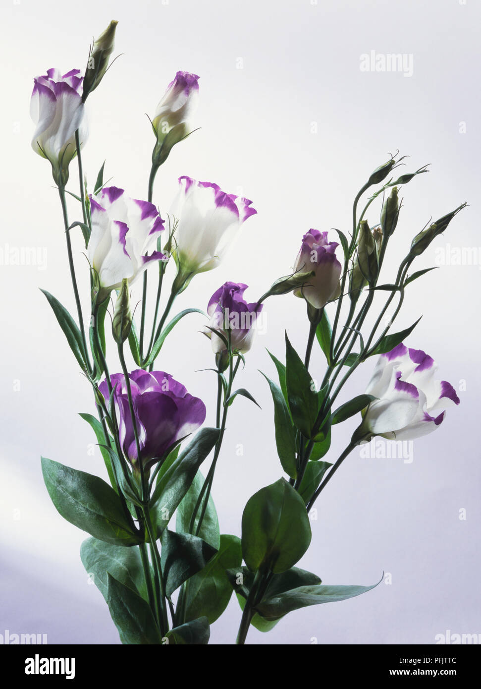 Eustoma grandiflorum, Texan Bluebell or Prairie Gentian flowers - Stock Image