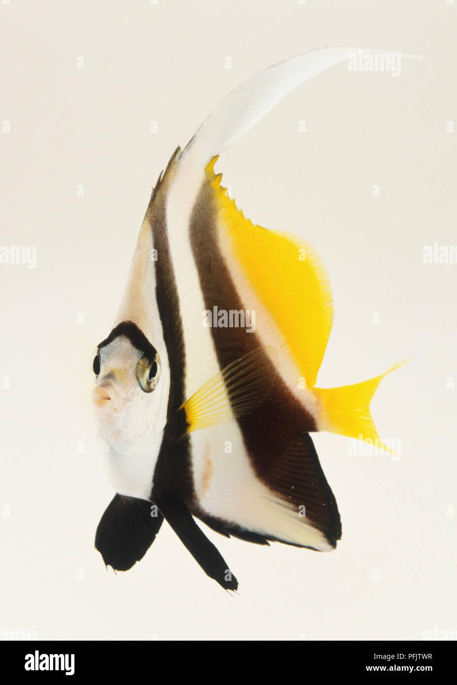 Pennant Coralfish or Coachman (Heniochus acuminatus), side view - Stock Image