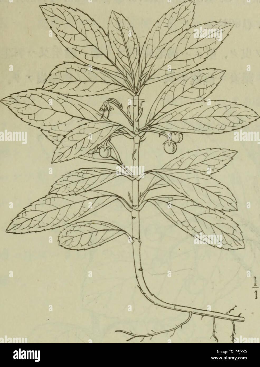 Dai Nihon Jumokushi Trees Shrubs C E C C 3 A A Aªa Lindleyae A A A Aº A A C Ae A A Ae E aa A A A C A A A A Aeac C A A E Sa A Aªa A A avar Angusta Akai C C A Ai º C C A I A ac C C