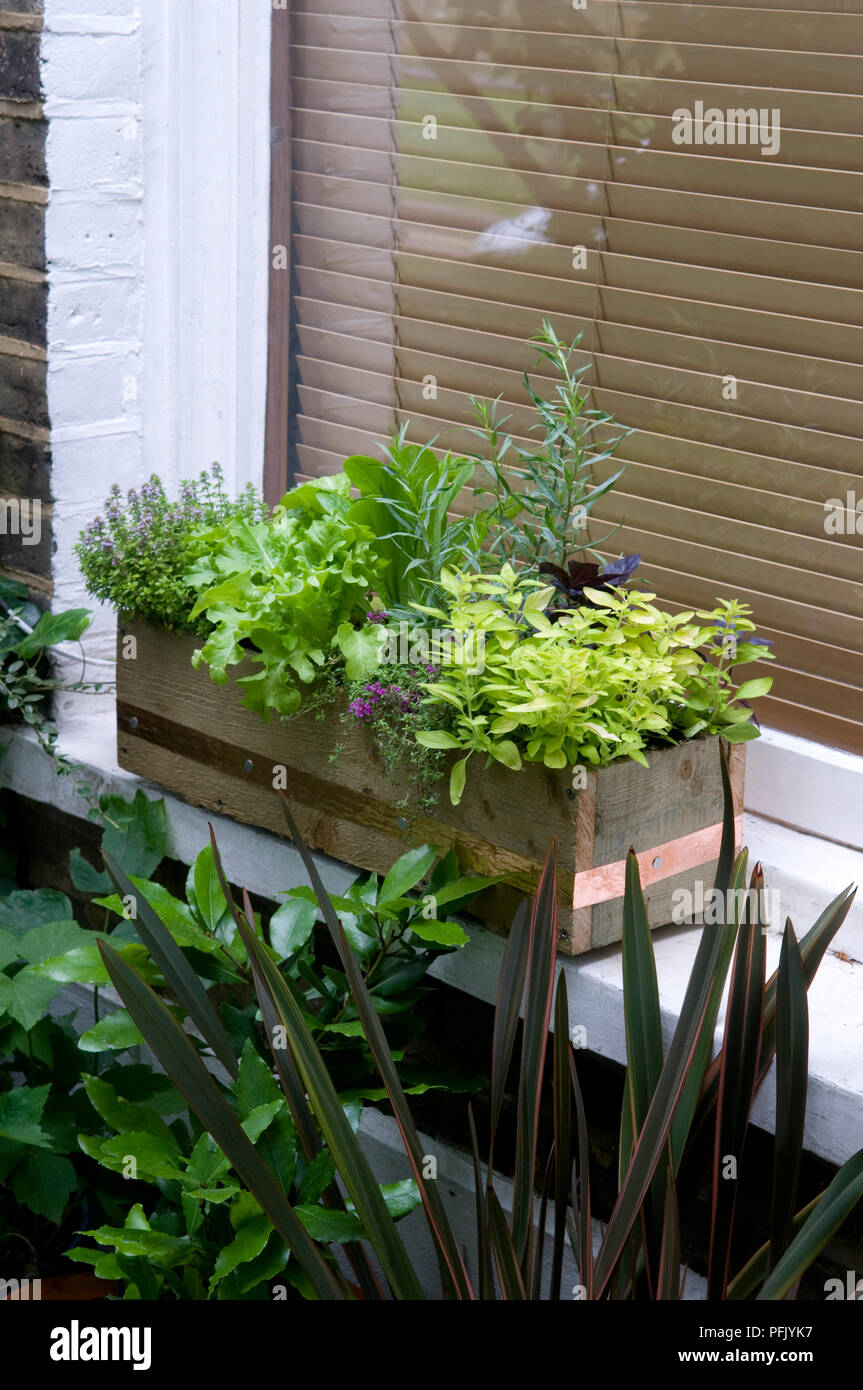 Mixed salad leaves and herbs in window box, including thyme, marjoram, lettuce - Stock Image