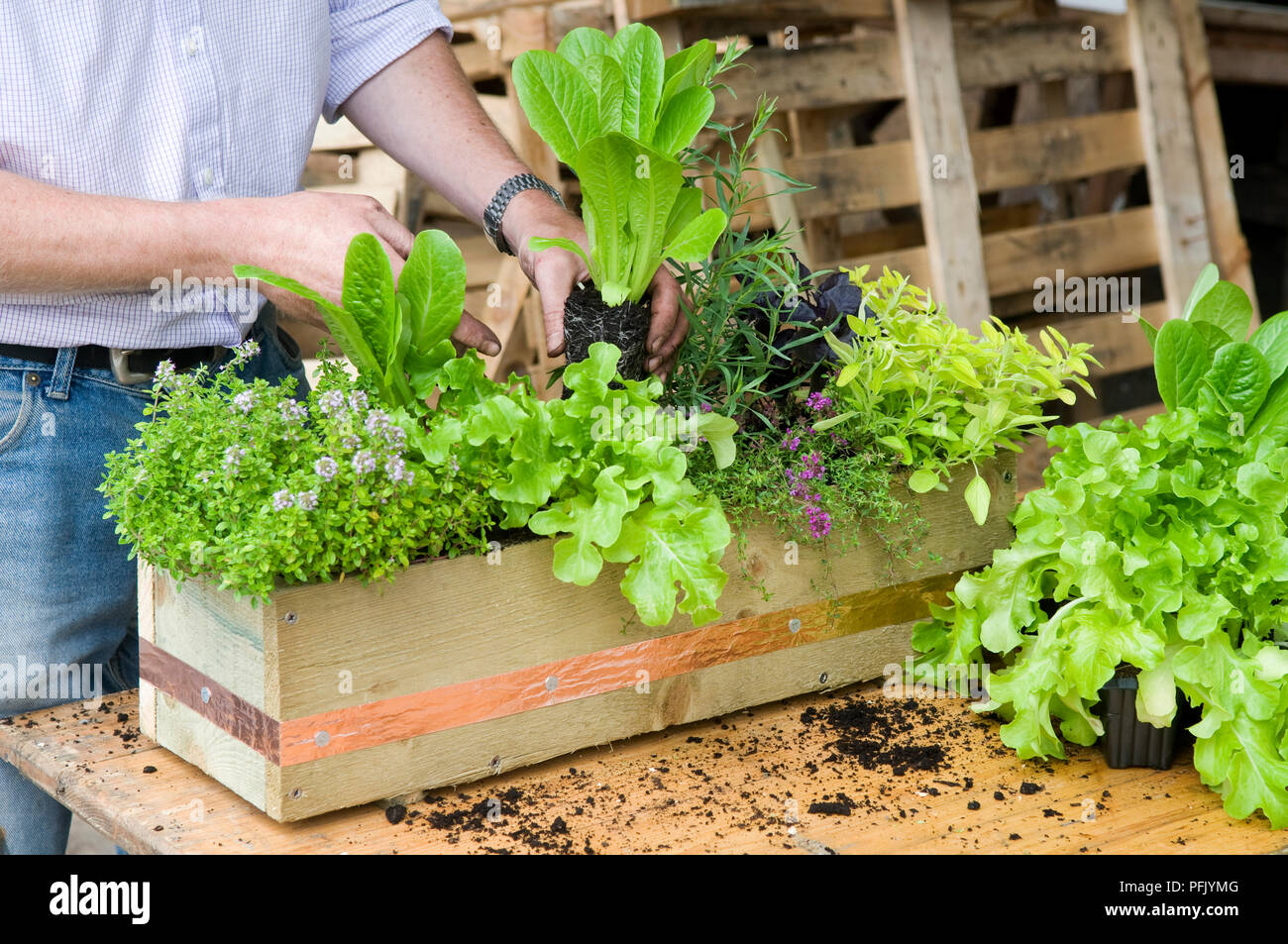Planting herbs and salad leaves in window box, including lettuce, thyme, purple basil, marjoram - Stock Image