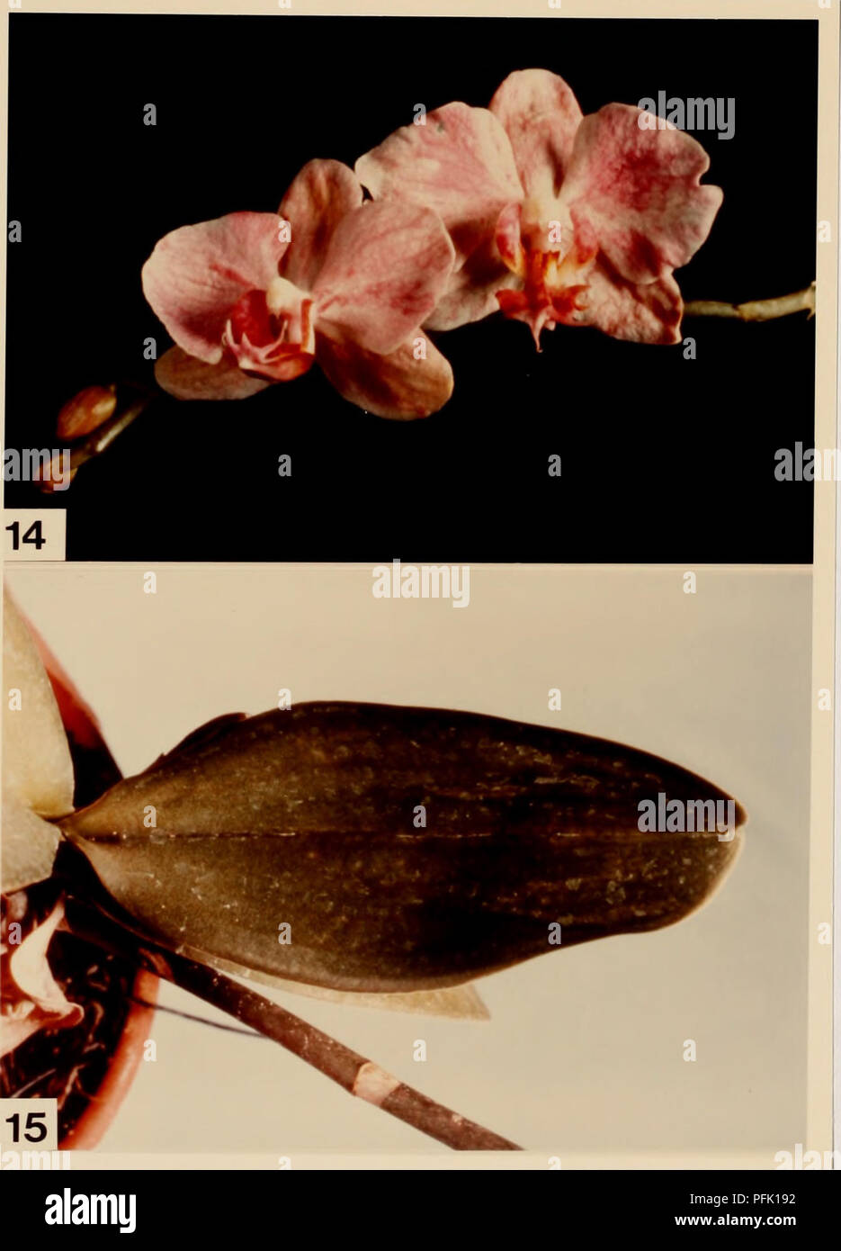 . Cytological methods for the detection, identification, and characterization of orchid viruses and their inclusion bodies. Orchids; Virus diseases of plants. -19-. Figure 14. Color breaking of Phalaenopsis flowers caused by CMV infection. Figure 15. Chlorotic Phalaenopsis leaf infected with CMV.. Please note that these images are extracted from scanned page images that may have been digitally enhanced for readability - coloration and appearance of these illustrations may not perfectly resemble the original work.. Ko, Nan-Jing. - Stock Image