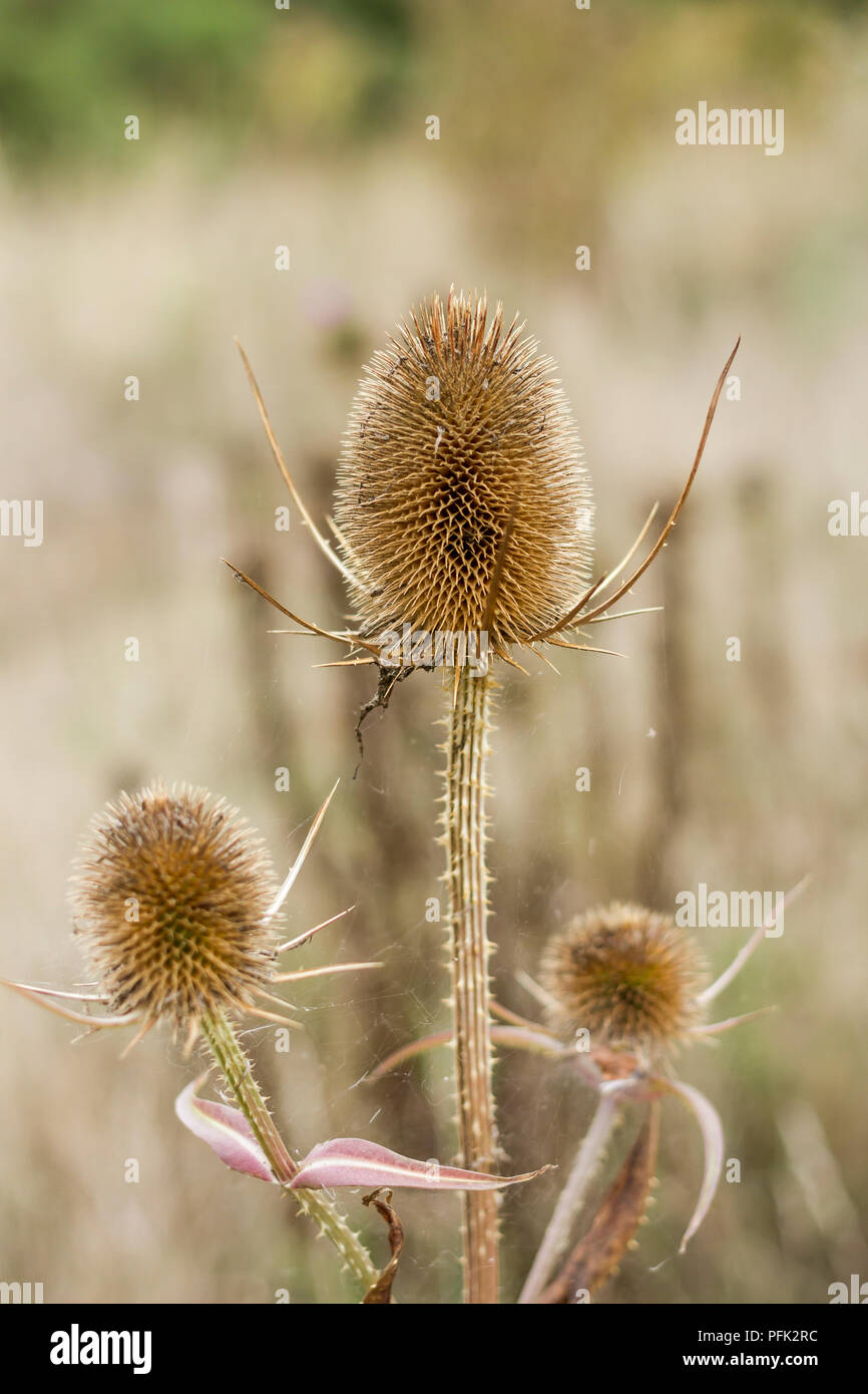 Dipasacus fullonum, Wild Teasel in late summer, Dorset, UK - Stock Image