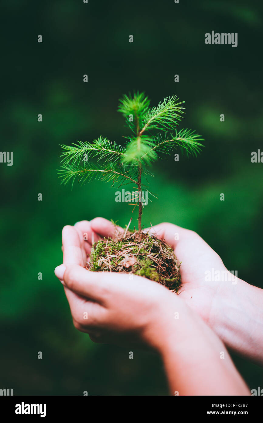 Female hand holding sprout wilde pine tree in nature green forest. Earth Day save environment concept. Growing seedling forester planting - Stock Image