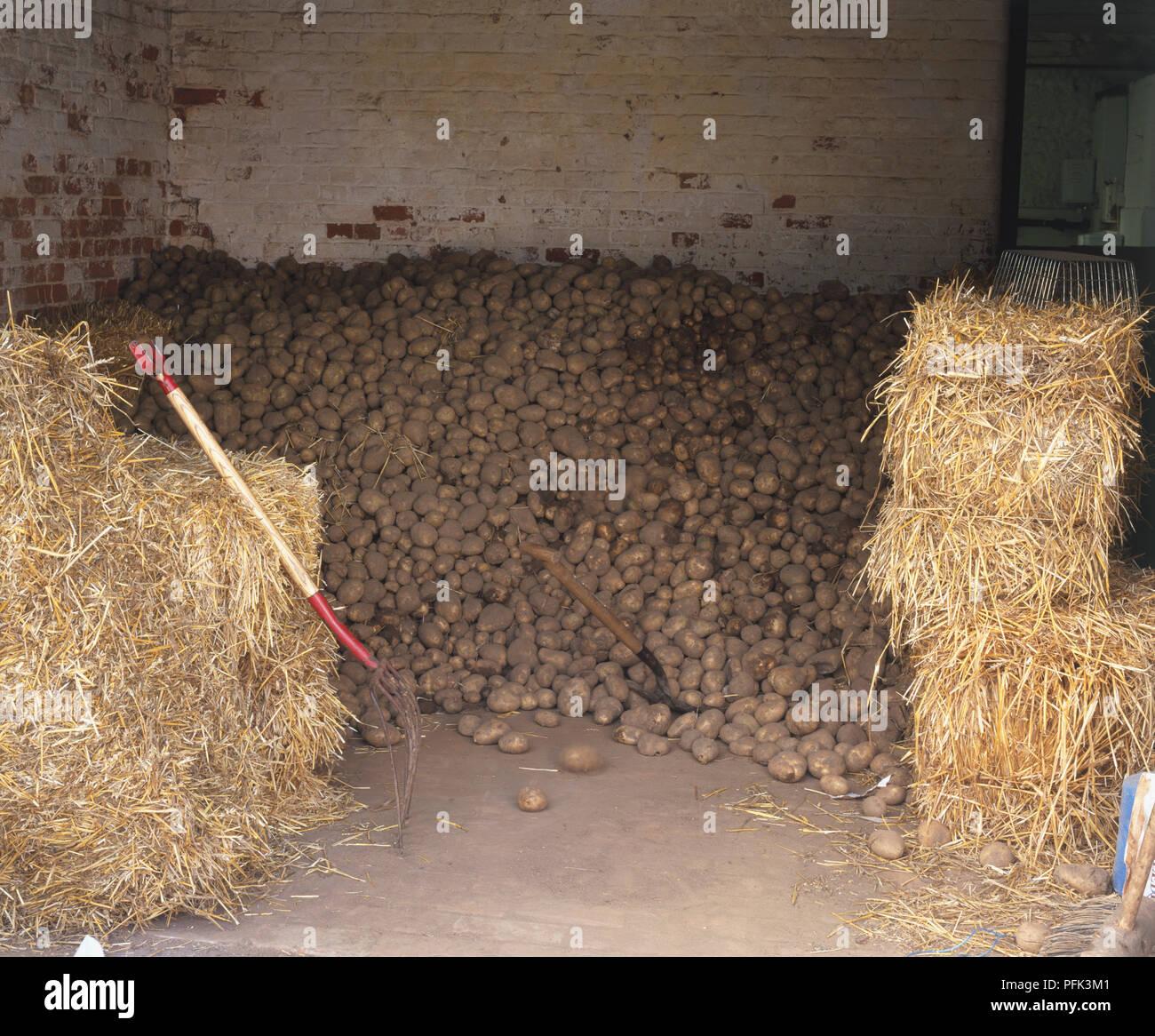 Pile of potatoes. - Stock Image