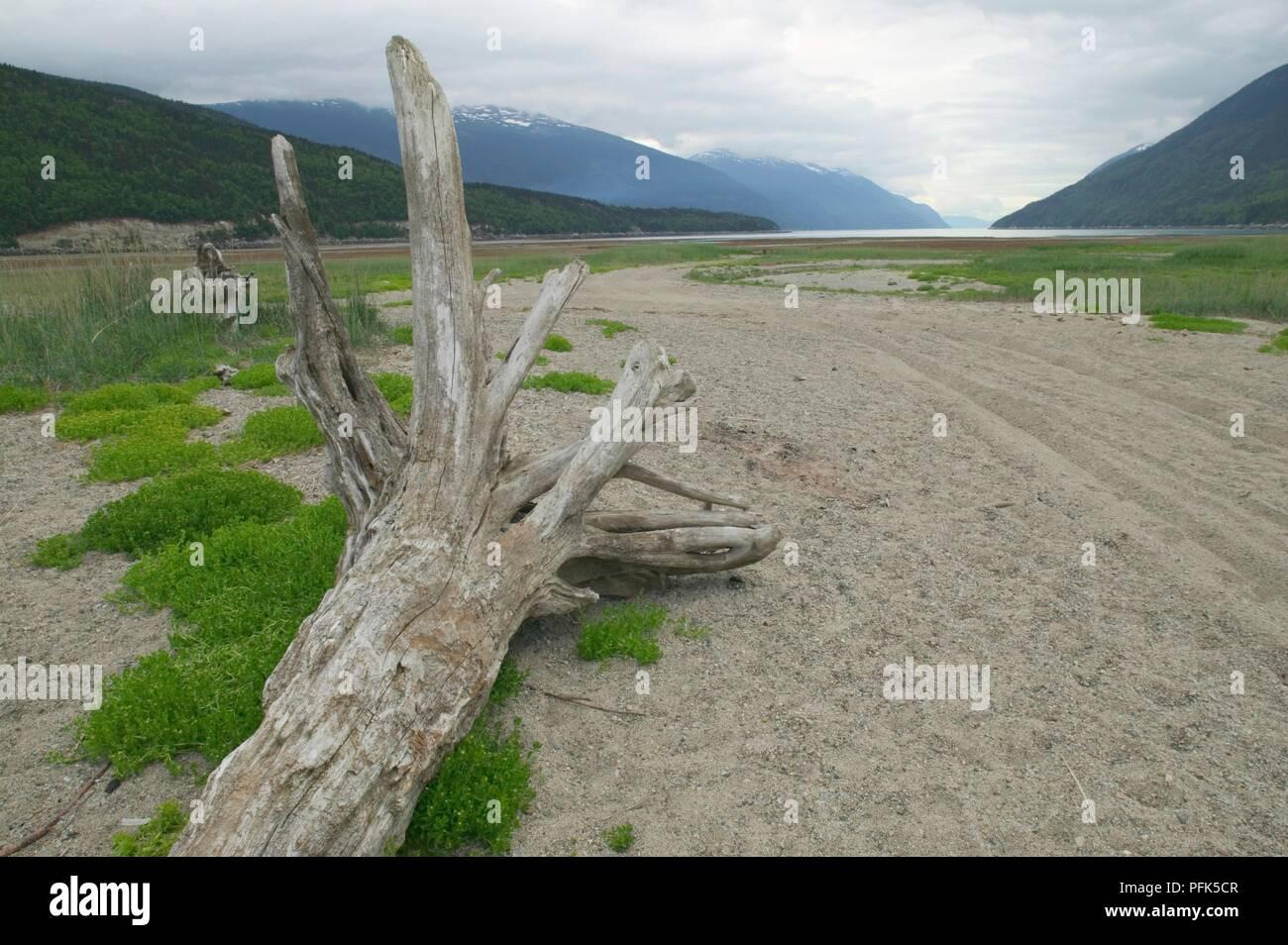 USA, Alaska, Dyea, Taiya Inlet, driftwood on beach - Stock Image