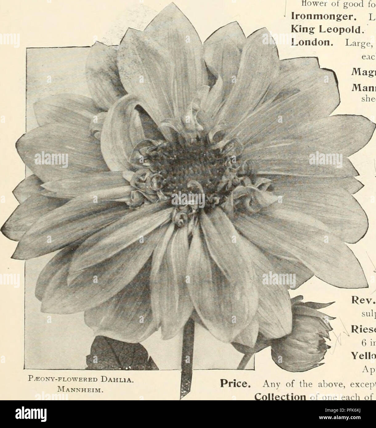 Dahlias Flowers Seeds Catalogs Nurseries Horticulture Catalogs
