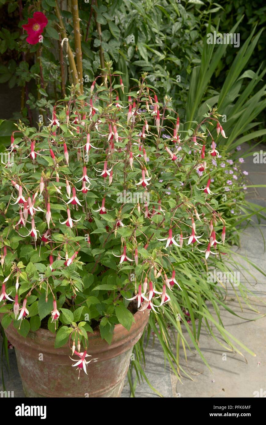 Fuchsia And Other Potted Plants On Patio, Close Up