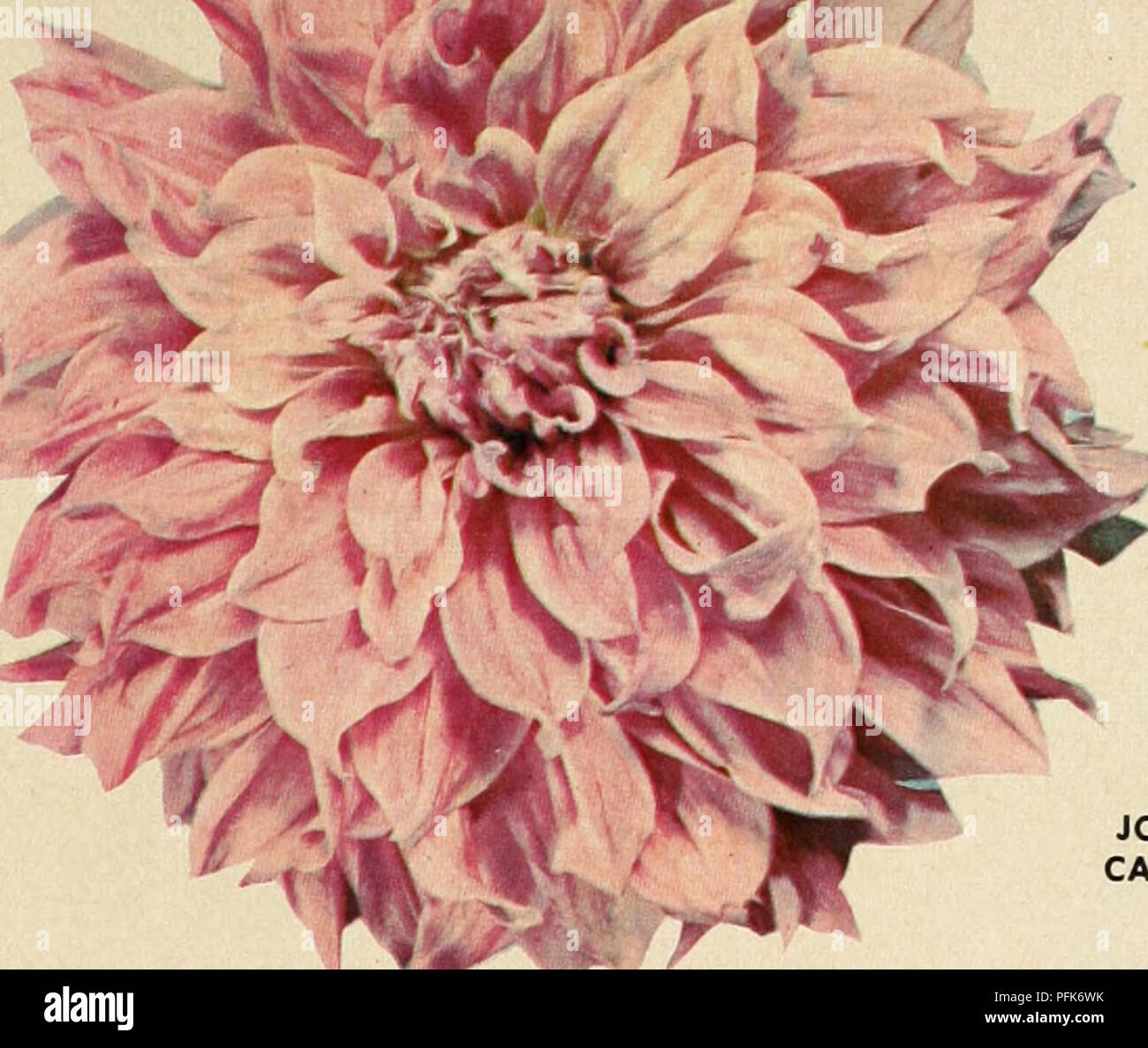 Dahlias Over 75 Varieties Offered In This Special Sales Folder