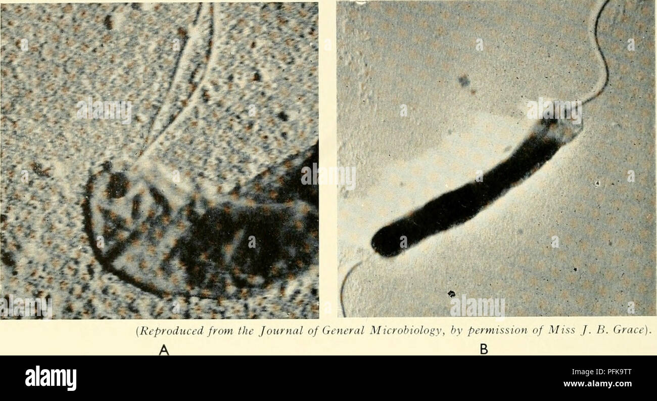 . The cytology and life-history of bacteria. Bacteria. 44 THE CYTOLOGY AND LIFE-HISTORY OF ACTERI A of Spirilla, each of which is about half the diameter of a typical, iinfibrillar flagellum, arise in bundles from single granules, so that each bundle constitutes a compound flagellum. This is considered to represent a primitive condition, intermediate between that in typical bacteria and in the flagellate protista (Chapter IX).. Fig. 15 BACTERIAL BLEPHAROPLASTS A. Electron microfi;raph of Spirillum sp. showing two flagella attached to a blepharoplast. B. Vihrio cholerae with monfibrillar flagel - Stock Image