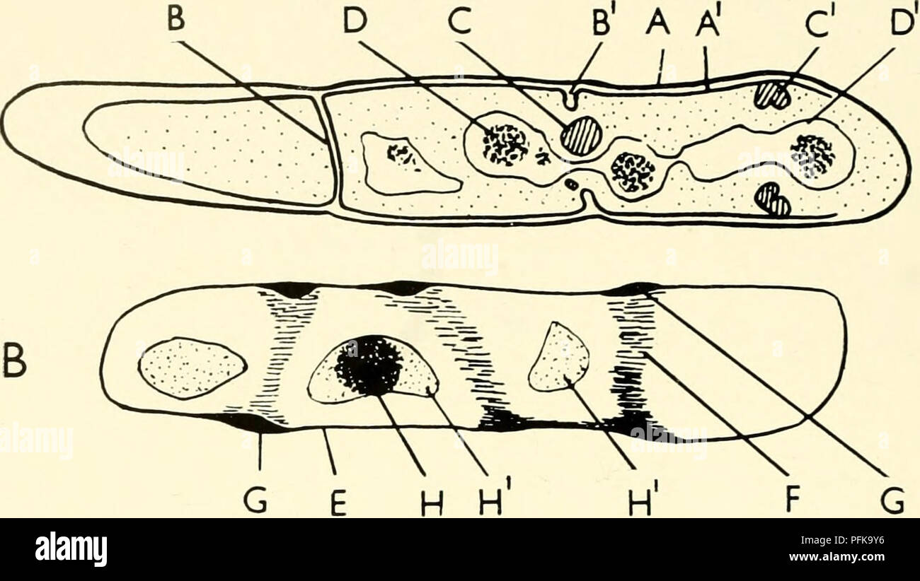The cytology and life history of bacteria bacteria the cytology the cytology and life history of bacteria sections of bacteria diagrams drawn from electron micrographs of bacillus cereus are compared diagram a is taken ccuart Images