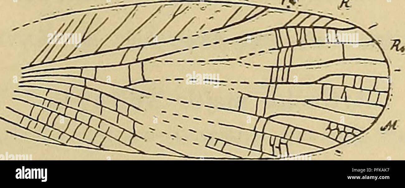 . Denkschriften - Österreichische Akademie der Wissenschaften. Klebsiella exstincta Meun. X ^ (Vorder- und Hinterflügel). Länge der Flügel etwa 30 mm. Farn. Cnemidolestidae Handl. Genus Cnemidolestes Handl. mit Gaudryi Brongn. und Woodwardi Brongn. aus Commentry. Rekonstruktion: Handlirsch, Handb. Ent, III, 154, f. 97. ?Genus PFOtodiamphlpnoa Brongn. mit Tertrini Brongn. aus Commentry. Farn. Roomeriidae n. fam. Ein schöner Vorderflügel aus Commentry von auffallend elliptischer Form erinnert durch das besonders breite von den Ästchen der verkürzten Subcosta erfüllte Costalfeld an die Protoblatt - Stock Image