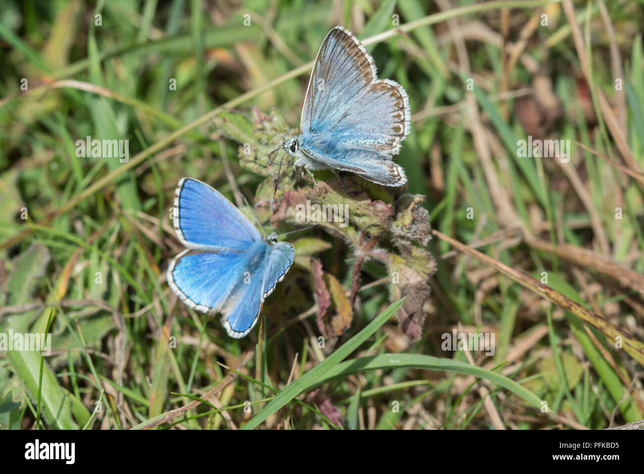 Adonis blue (Polyommatus bellargus) and chalkhill blue (Polyommatus coridon) male butterflies in chalk downland habitat in Hampshire, UK - Stock Image