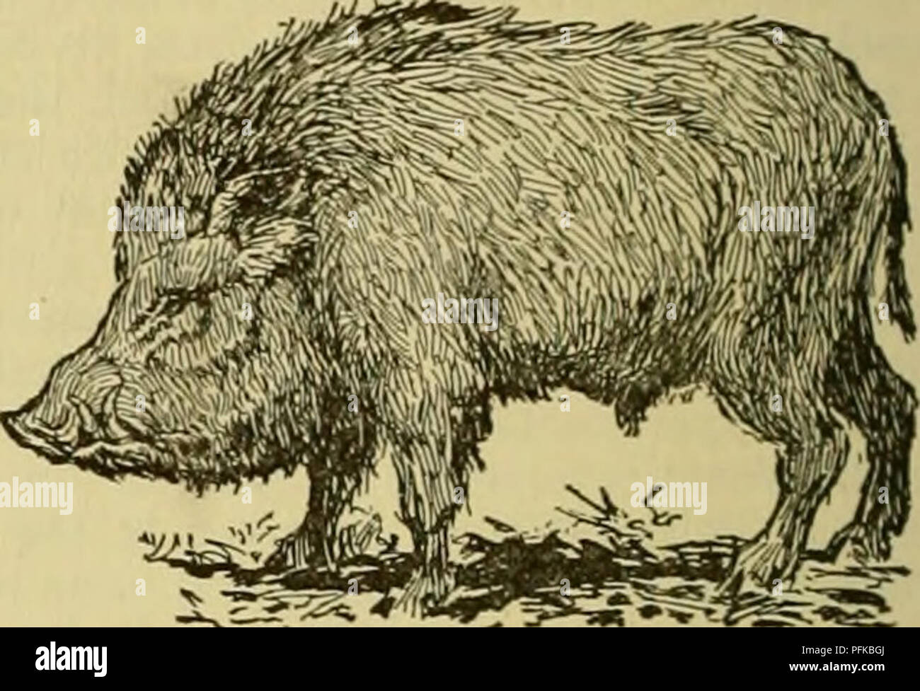 . Cyclopedia of farm animals. Domestic animals; Animal products. 646 SWINE SWINE 1902 1905 $12,162,953 240,840 54,070 22,186 $12,194,458 321,501 188,194 110,540 Pork Literature. The following books may be consulted for addi- tional information on swine: F. D. Cobourn, Swine Husbandry, New York (1888); John Coleman, Cat- tle, Sheep and Pigs of Great Britain, London (1887); John A. Craig, Judging Live-Stock, College Station, Texas (1904); George W. Curtis, Horses, Cattle, Sheep and Swine, College Station, Texas (1888); George E. Day, Swine, Agricultural College, Guelph, Canada (1905); Joseph Har - Stock Image