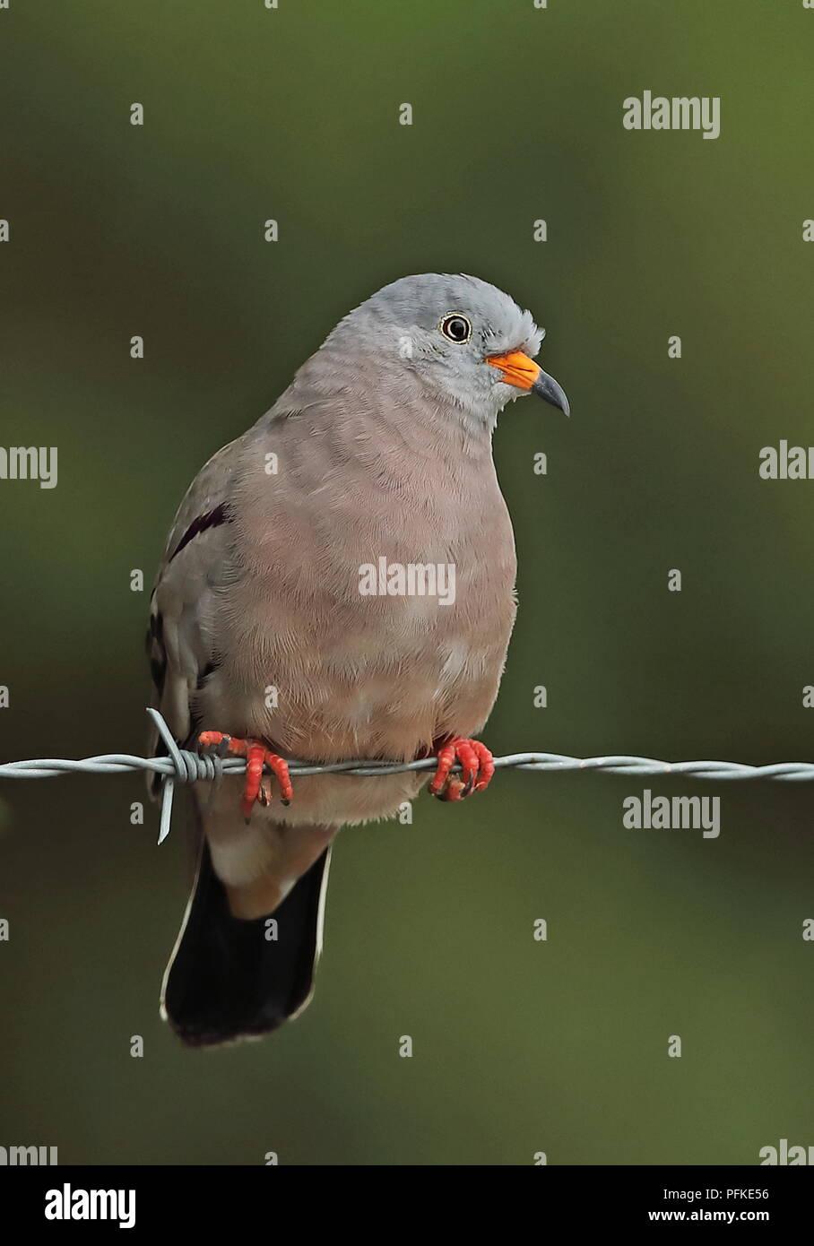 Croaking Ground-dove (Columbina cruziana) adult male perched on barbed wire fence  Loja, Ecuador                        February - Stock Image