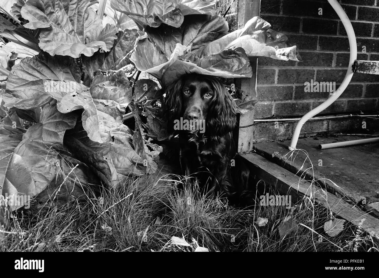 working cocker spaniel hiding - Stock Image