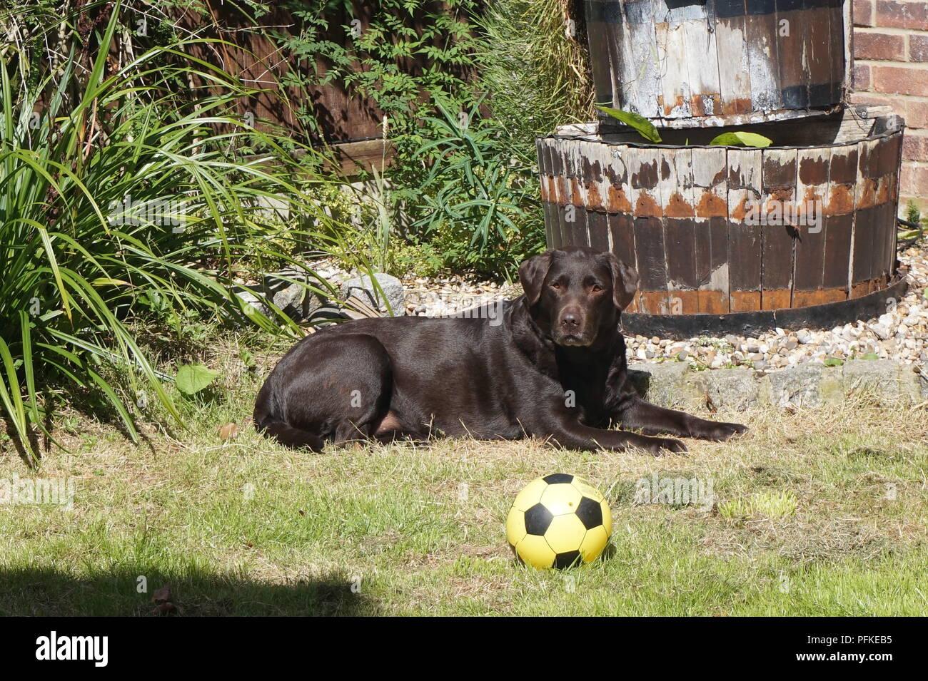 Labrador sunbathing. - Stock Image