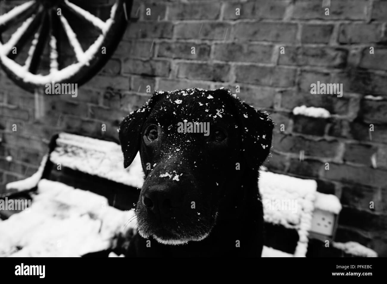 Labrador in the snow - Stock Image