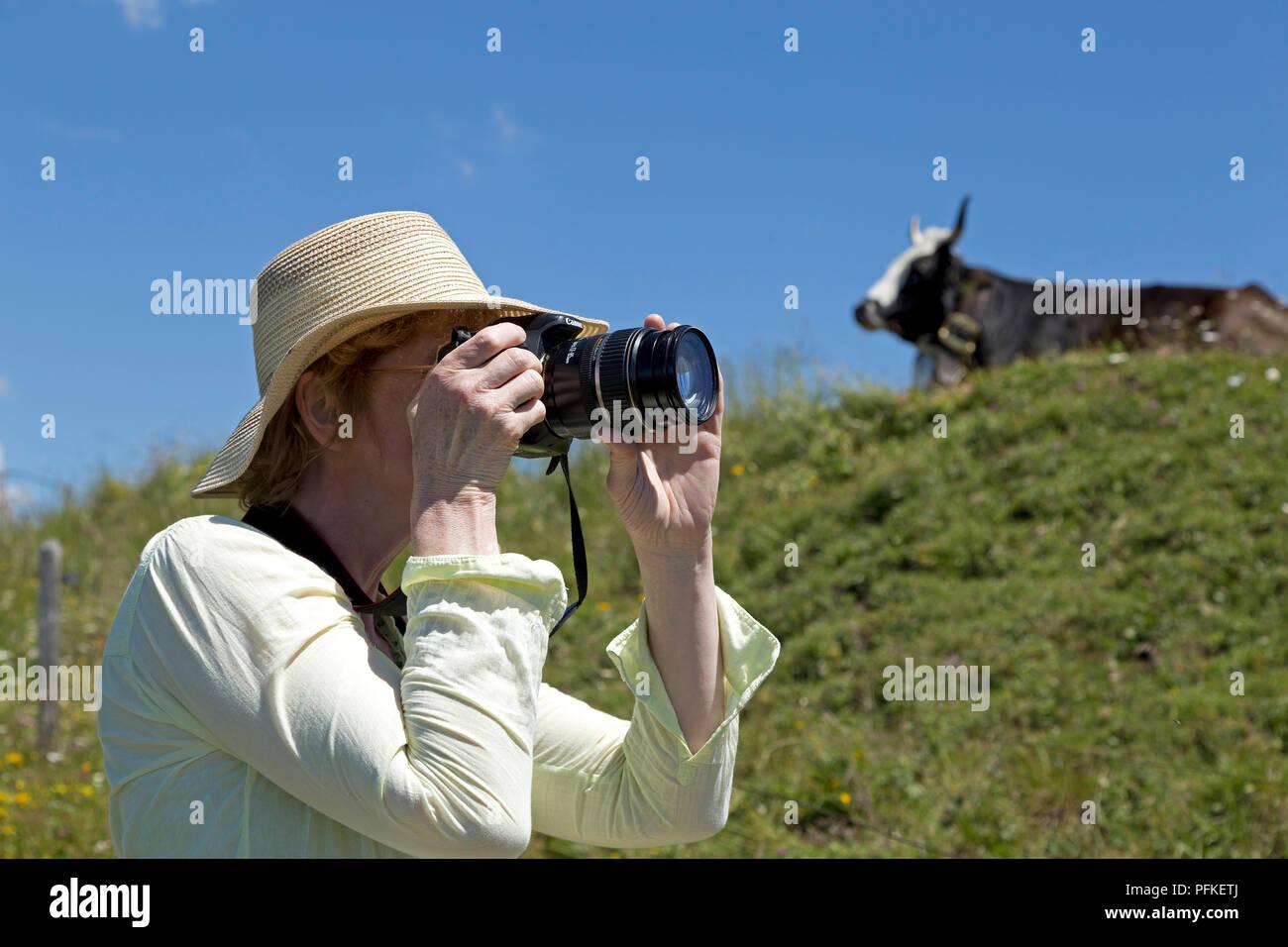 woman taking photo of cow on Hochgrat summit near Steibis, Allgaeu, Bavaria, Germany - Stock Image