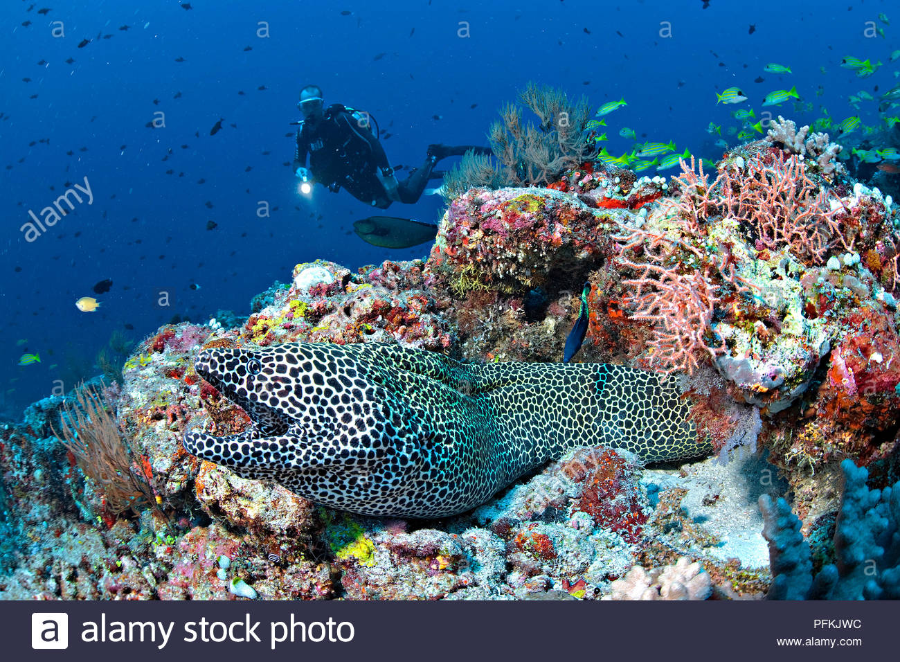 Taucher und Grosse Netzmuraene (Gymnothorax favagineus) im Korallenriff, Malediven | Scuba diver and Honeycomb moray or Laced moray (Gymnothorax favag - Stock Image