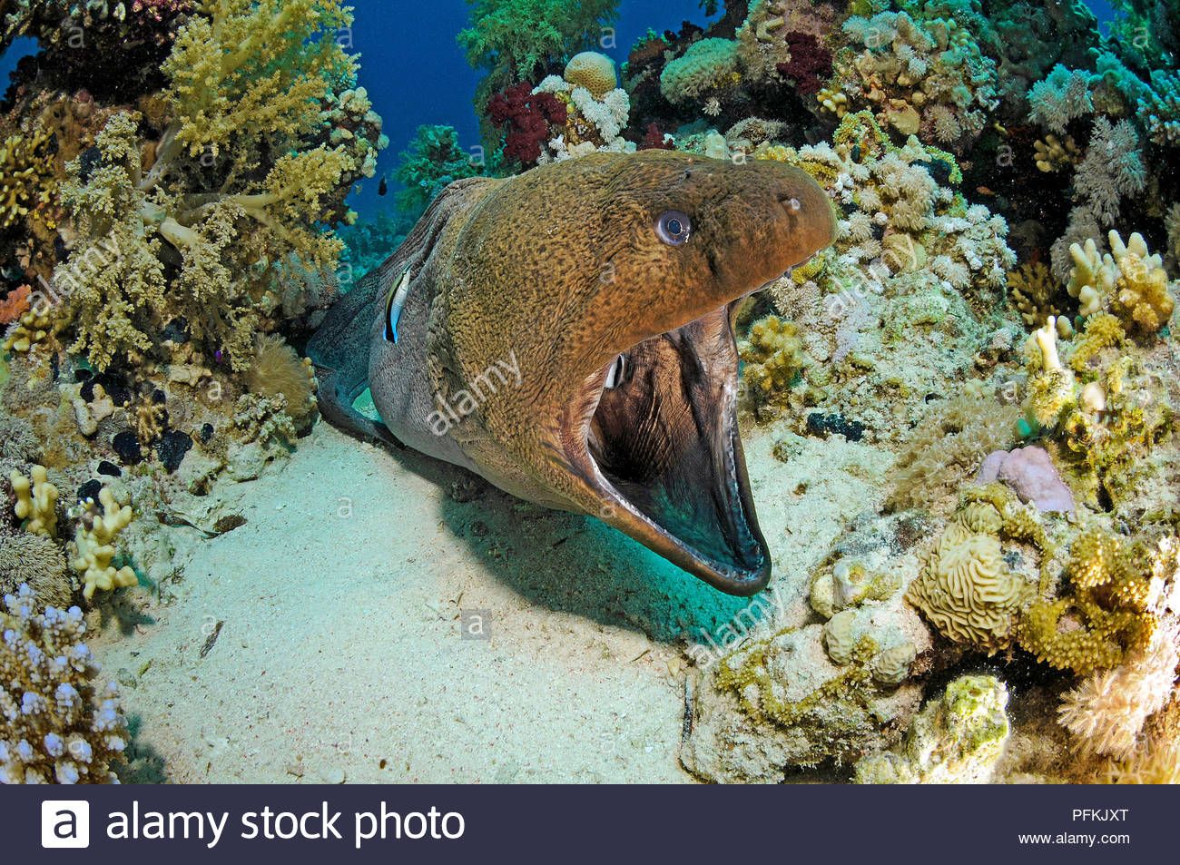 Cleaner fish (Labroides dimidiatus) cleans a Giant Moray (Gymnothorax javiancus), Sharm el Sheikh, Sinai, Egypt Stock Photo
