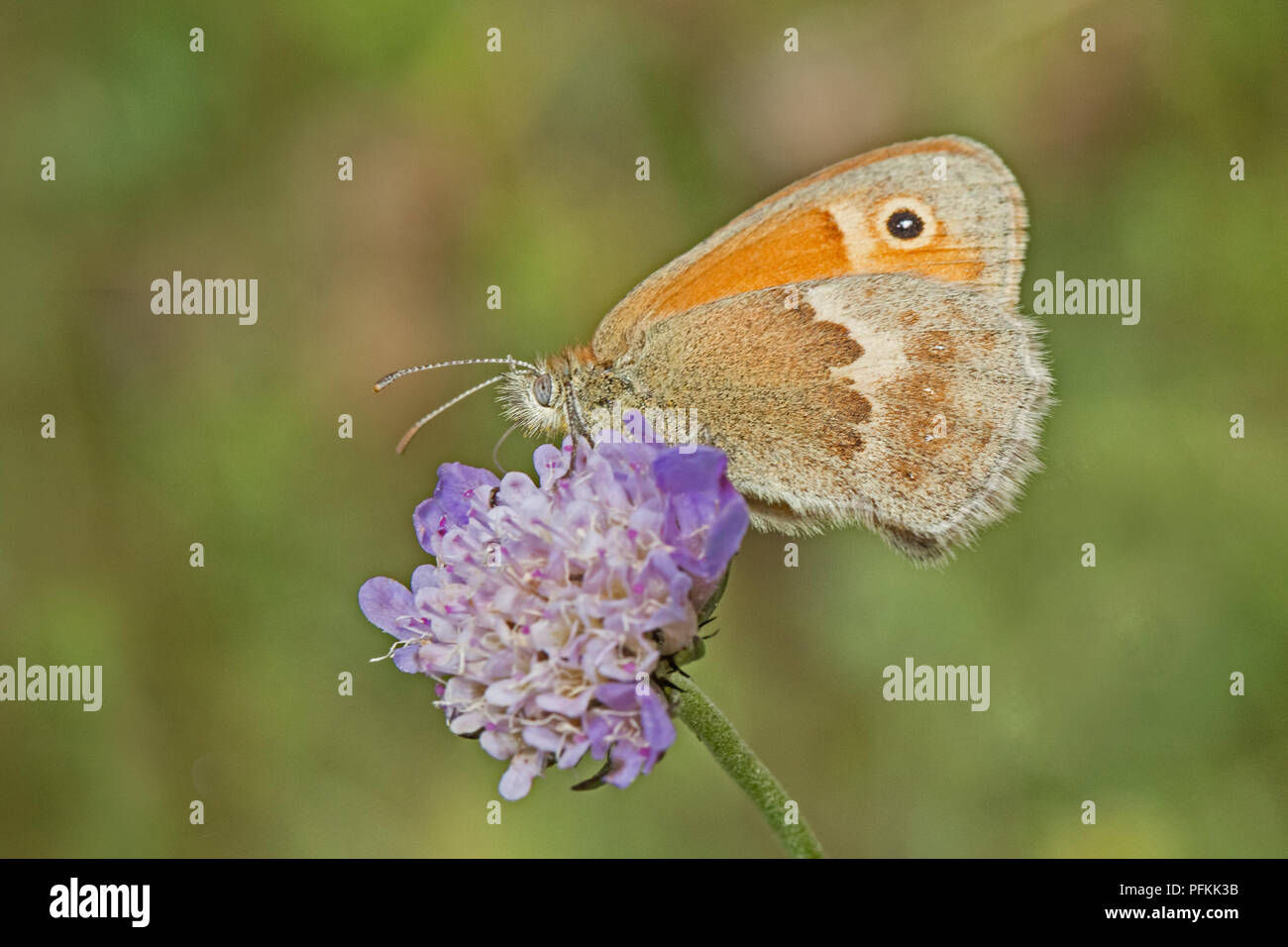 Male Small Heath  (Coenonympha pamphilus)  feeding on small scabious - Stock Image