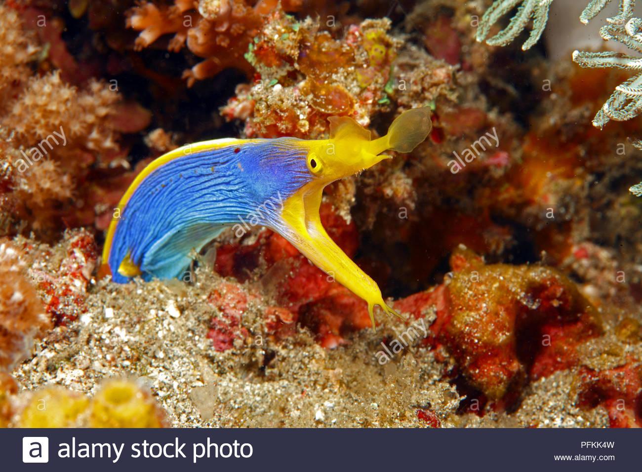 Nasenmuraene (Rhinomuraena quaesita) im Korallenriff, Borneo, Malaysia | Ribbon eel (Rhinomuraena quaesita) at coral reef, Borneo, Malaysia Stock Photo