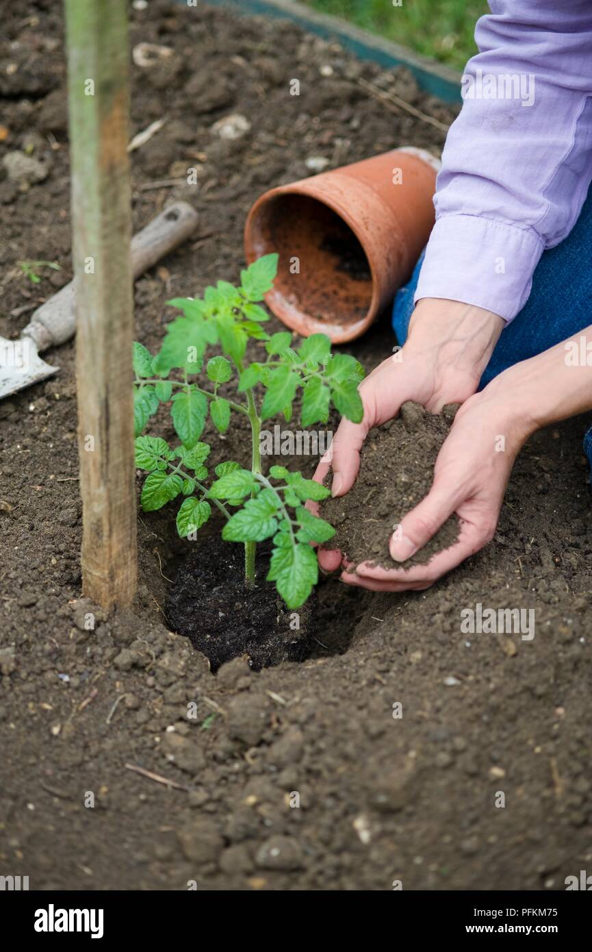 Holding Soil In Hands Next To Tomato Plant In Hole Stock