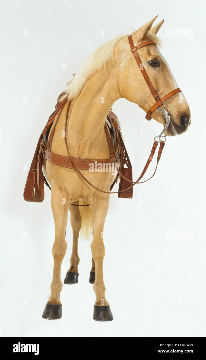 Palomino Horse Equus Caballus With Western Style Bridle And Saddle Head Turned To Left Front View Stock Photo Alamy