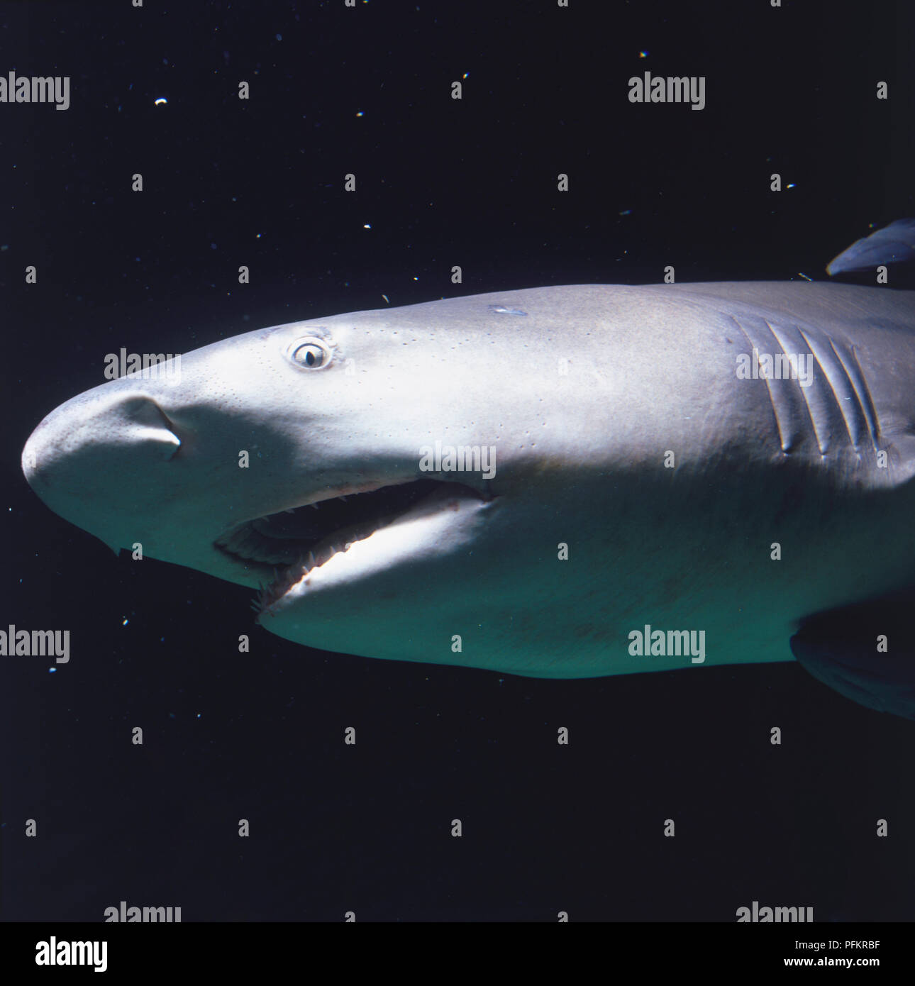 Model of Lemon Shark (Negaprion brevirostris), side view. - Stock Image