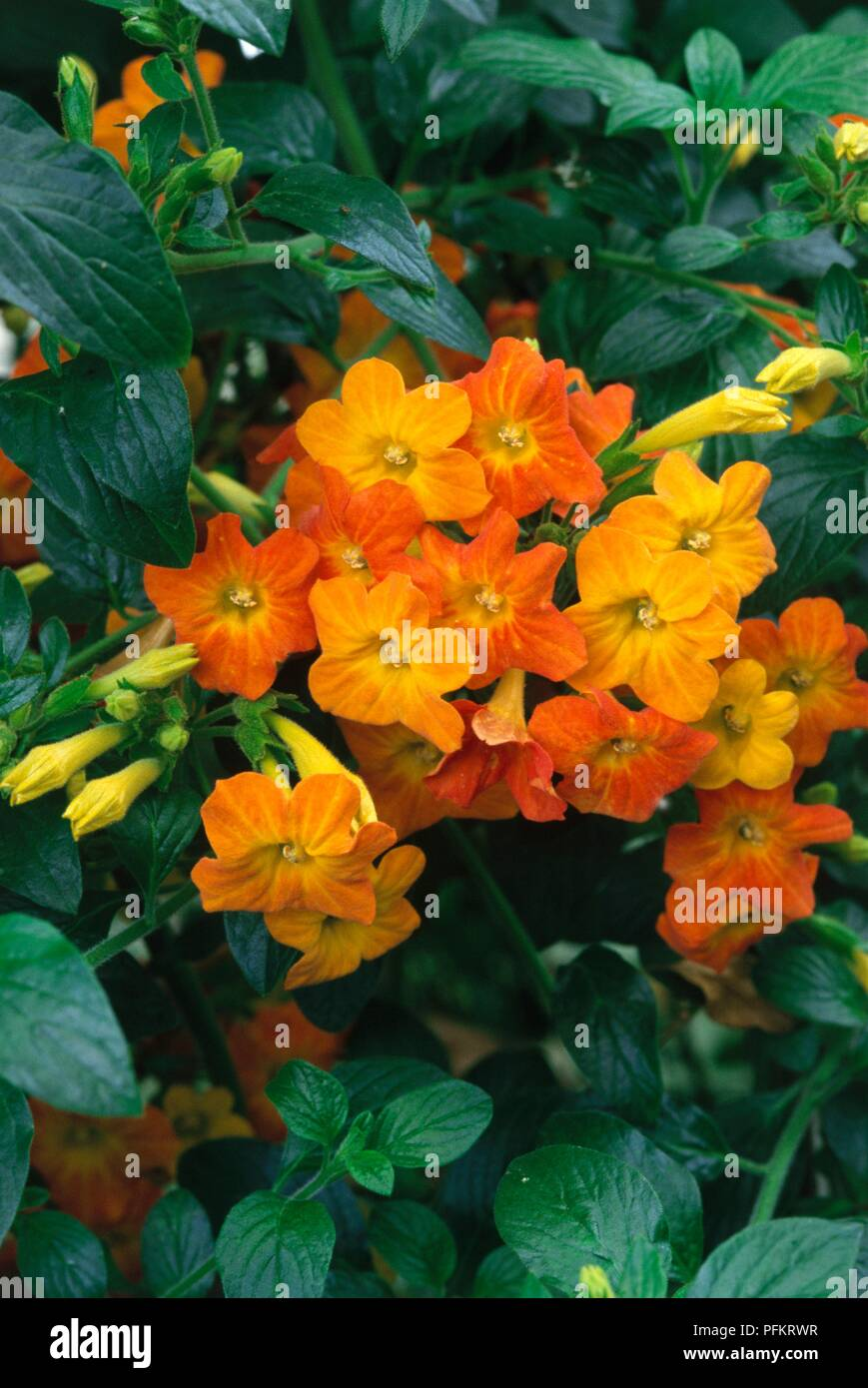 Leaves And Orange And Yellow Flowers From Streptosolen Jamesonii