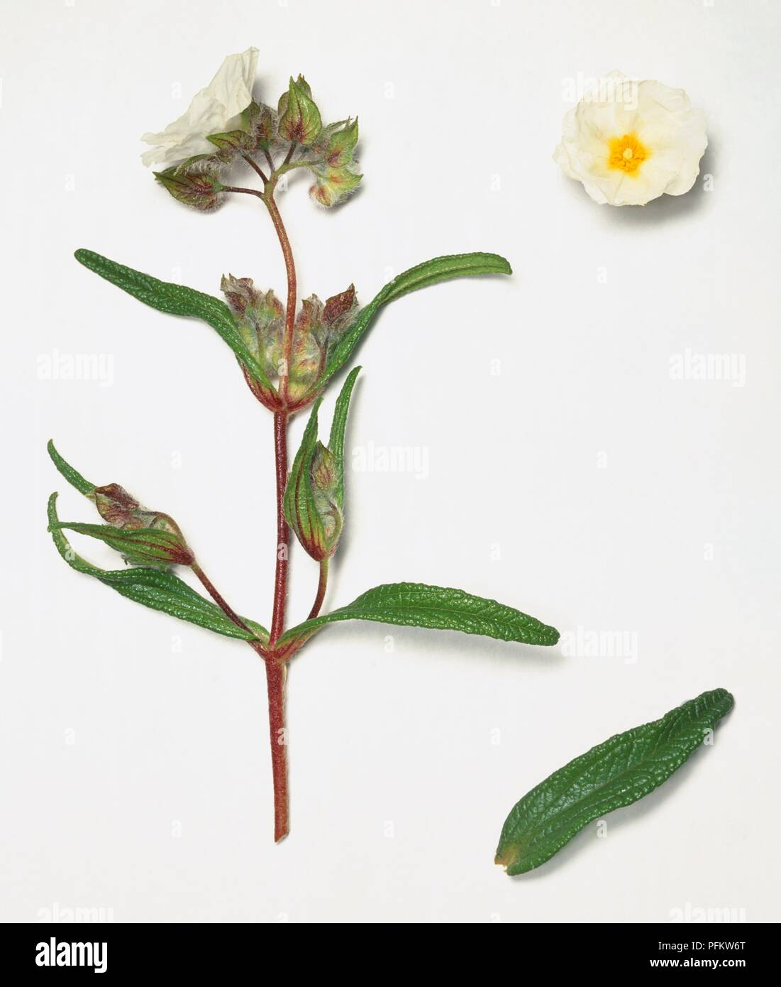 Cistus Monspeliensis Narrow Leaved Cistus White Flower Buds And