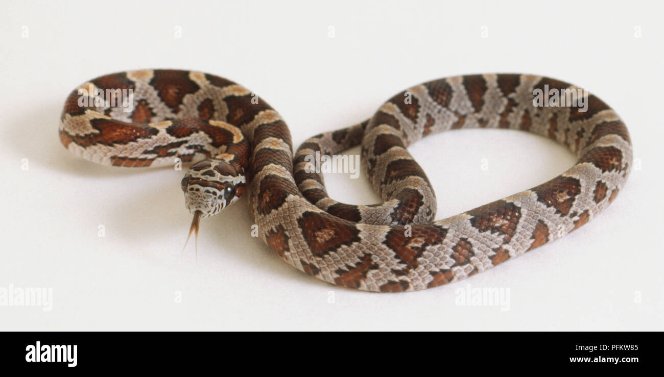 Corn Snakes Stock Photos & Corn Snakes Stock Images - Page 3 - Alamy