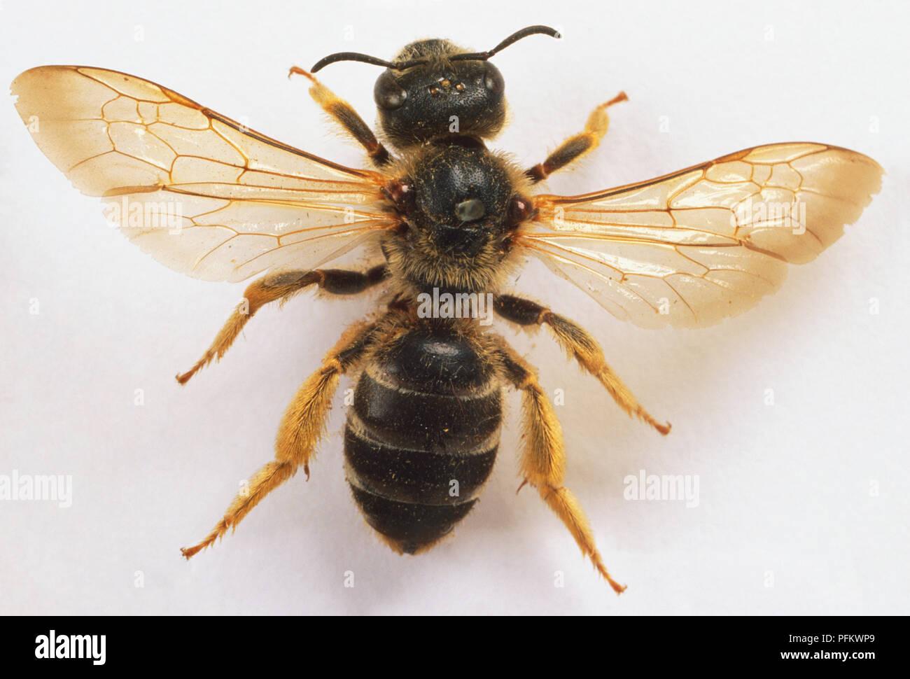 Halictus quadricinctus, sweat bee, close up - Stock Image