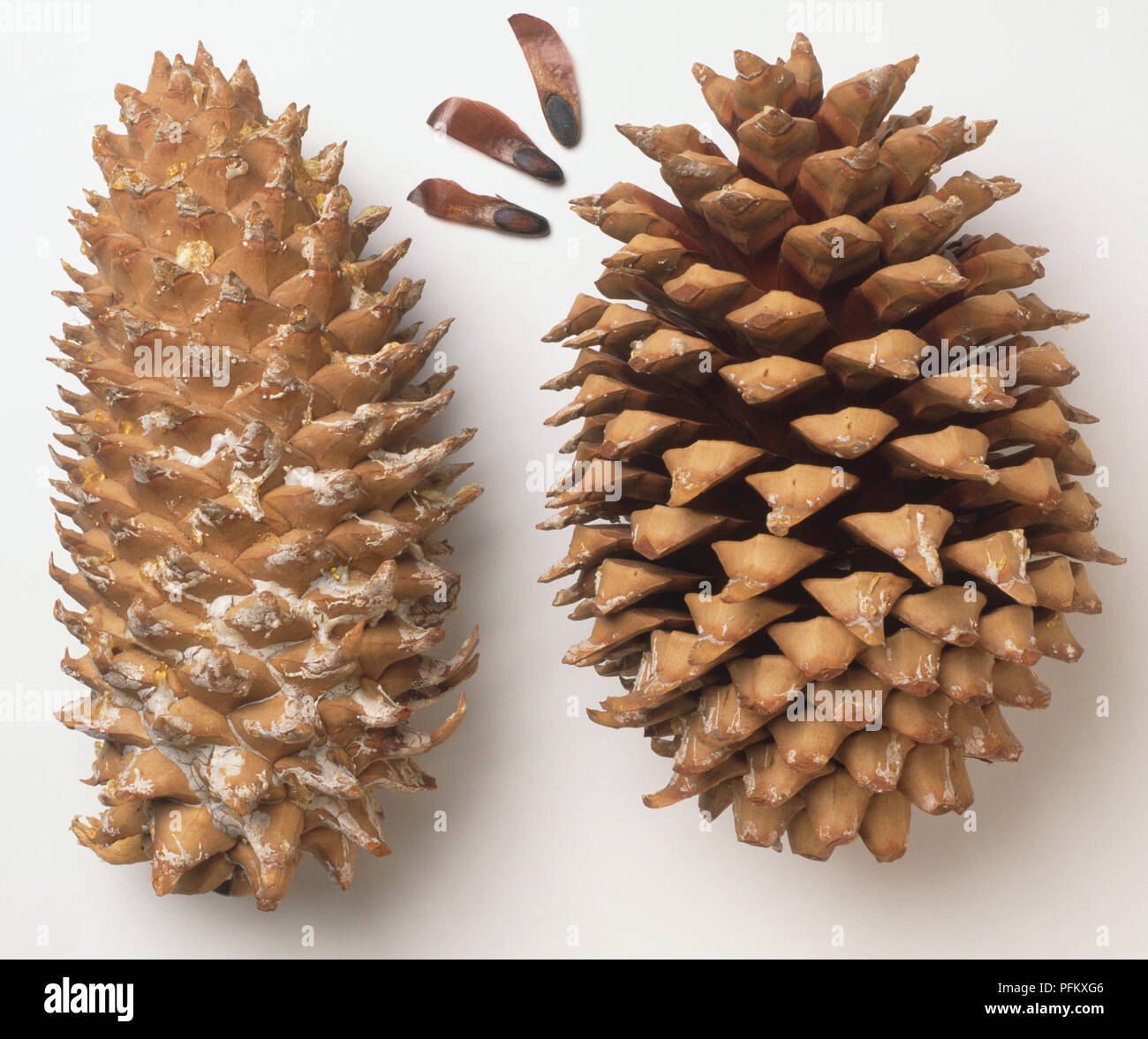 Pinus coulteri, two Coulter Pine cones, one ripe and the other open ...