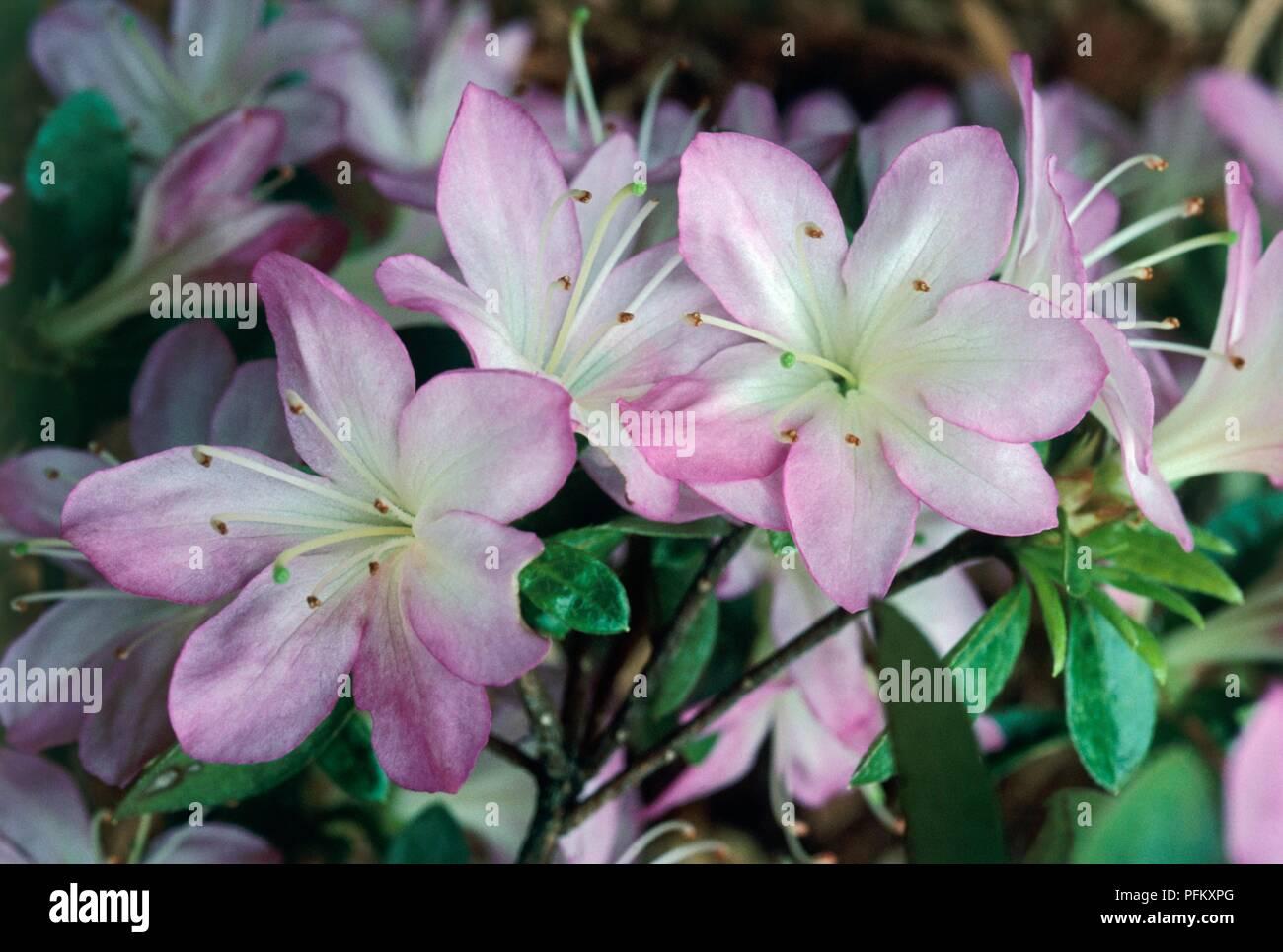 Rhododendron Irohayama Kurume Hybrid Azalea Shrub With Small