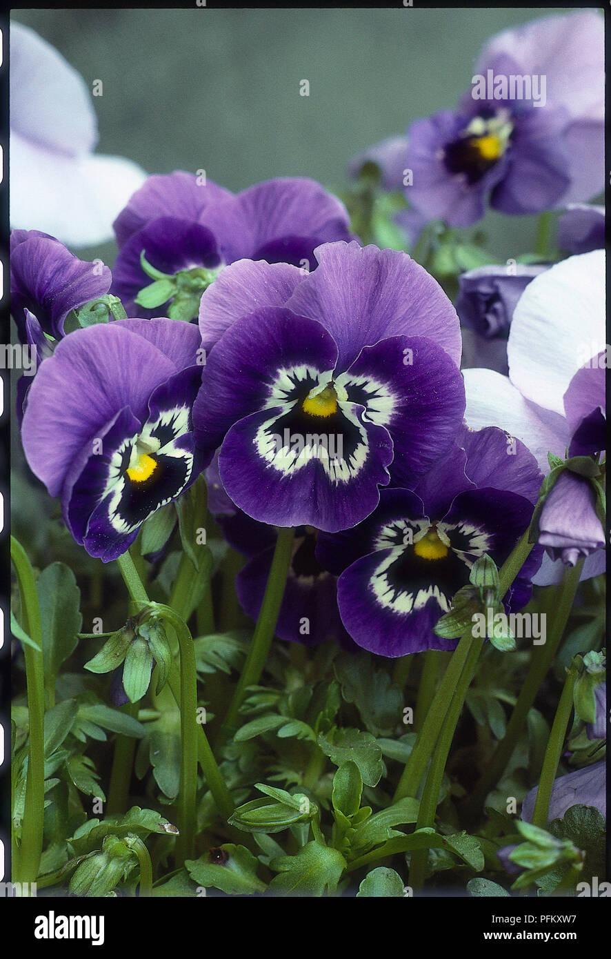 Viola X Wittrockiana Joker Series A Bushy Spreading Perennial