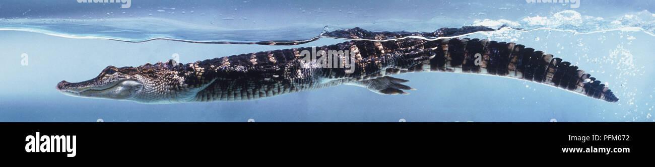 American alligator (Alligator mississippiensis) underwater, swimming, side view - Stock Image