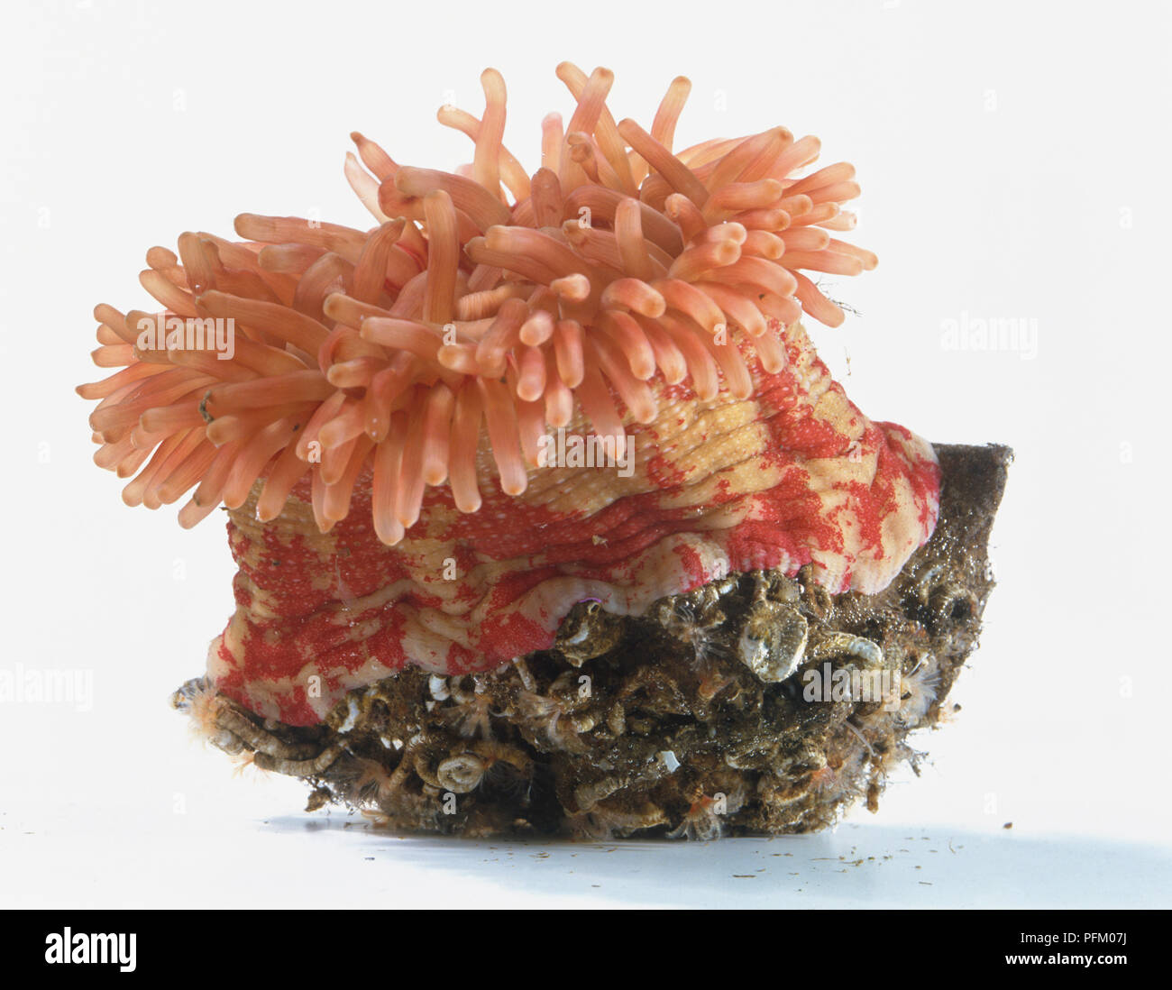 Sea Anemone Anatomy Stock Photos Sea Anemone Anatomy Stock Images