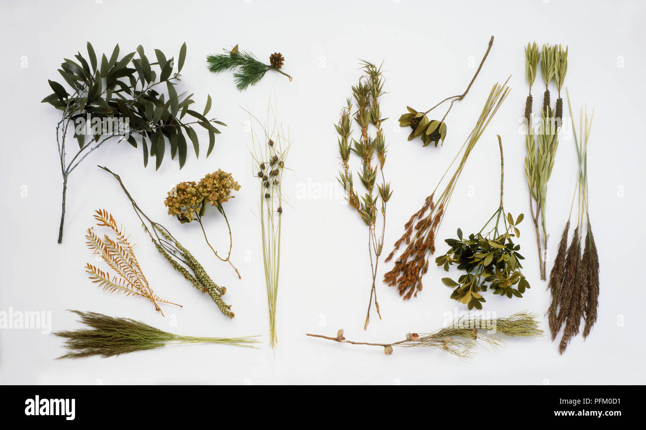 Bunches of green and brown plants, including Snow gum, Scots pine, Rush, Dryandra, Mop-headed hygrangea, Bamboo, Clubrush, Crimson bottlebrush, Mexican orange, Hakea, two types of Reed and two types of Leucodendron - Stock Image