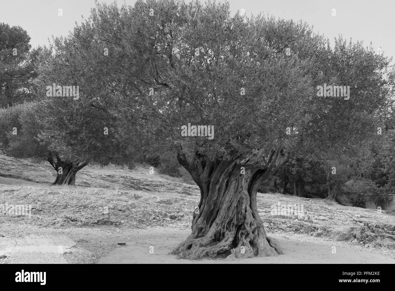 Olive Tree - Stock Image