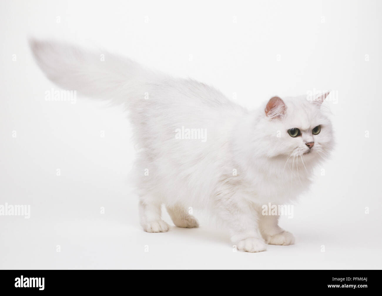 A white Persian (Felis catus) with is bushy tail stretched out, side view - Stock Image