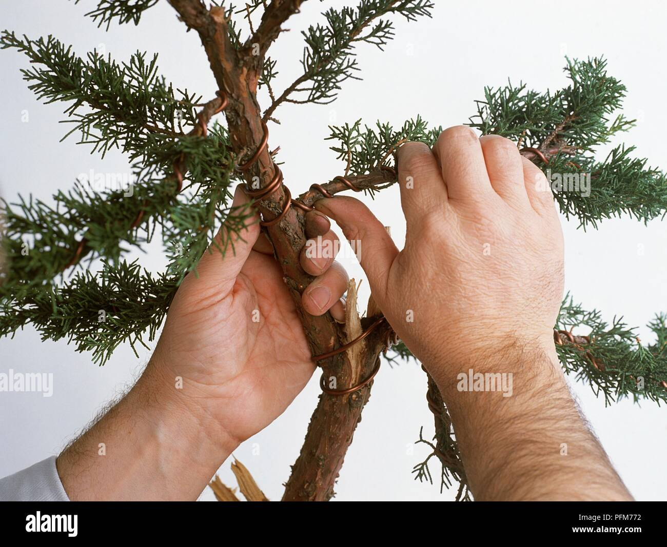 Pleasant Mans Hands Wiring Branch Of Juniperus X Media Blaauw Chinese Wiring 101 Ouplipimpapsstreekradiomeanderfmnl