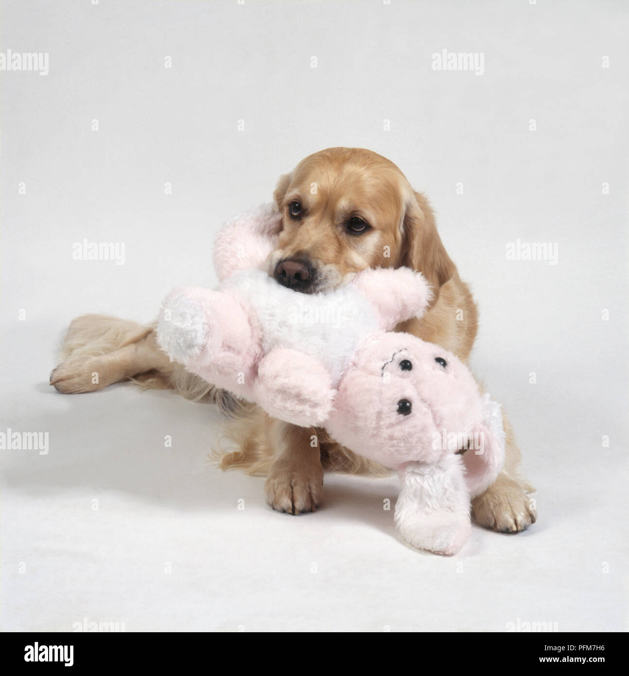 Labrador Retriever Puppy Carrying Stuffed Toy Rabbit In Its Mouth