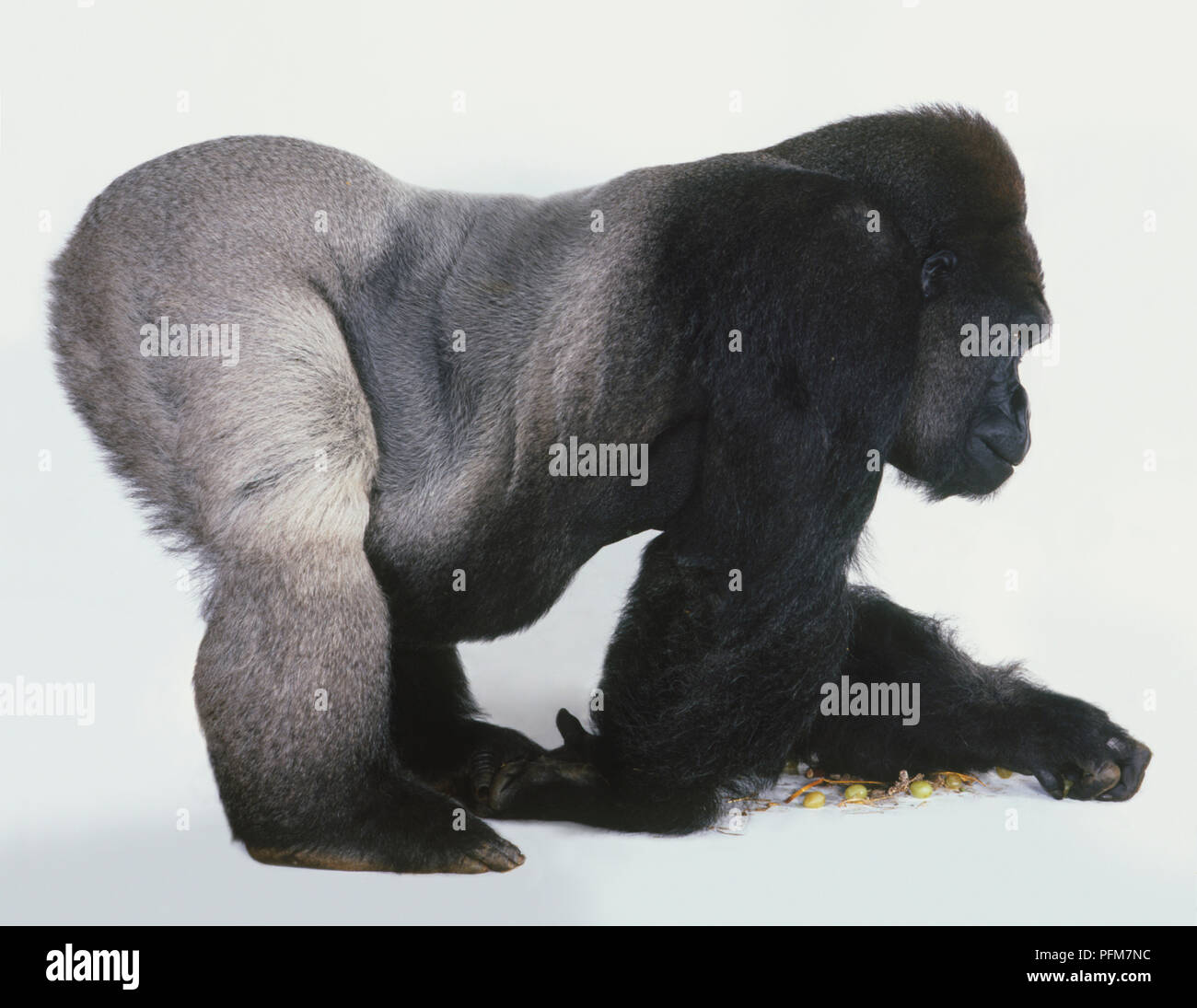 Adult male Lowland Gorilla (Gorilla beringei graueri) on all fours, forearms flat on floor, rump in air, silver hindquarters clearly visible, side view. - Stock Image