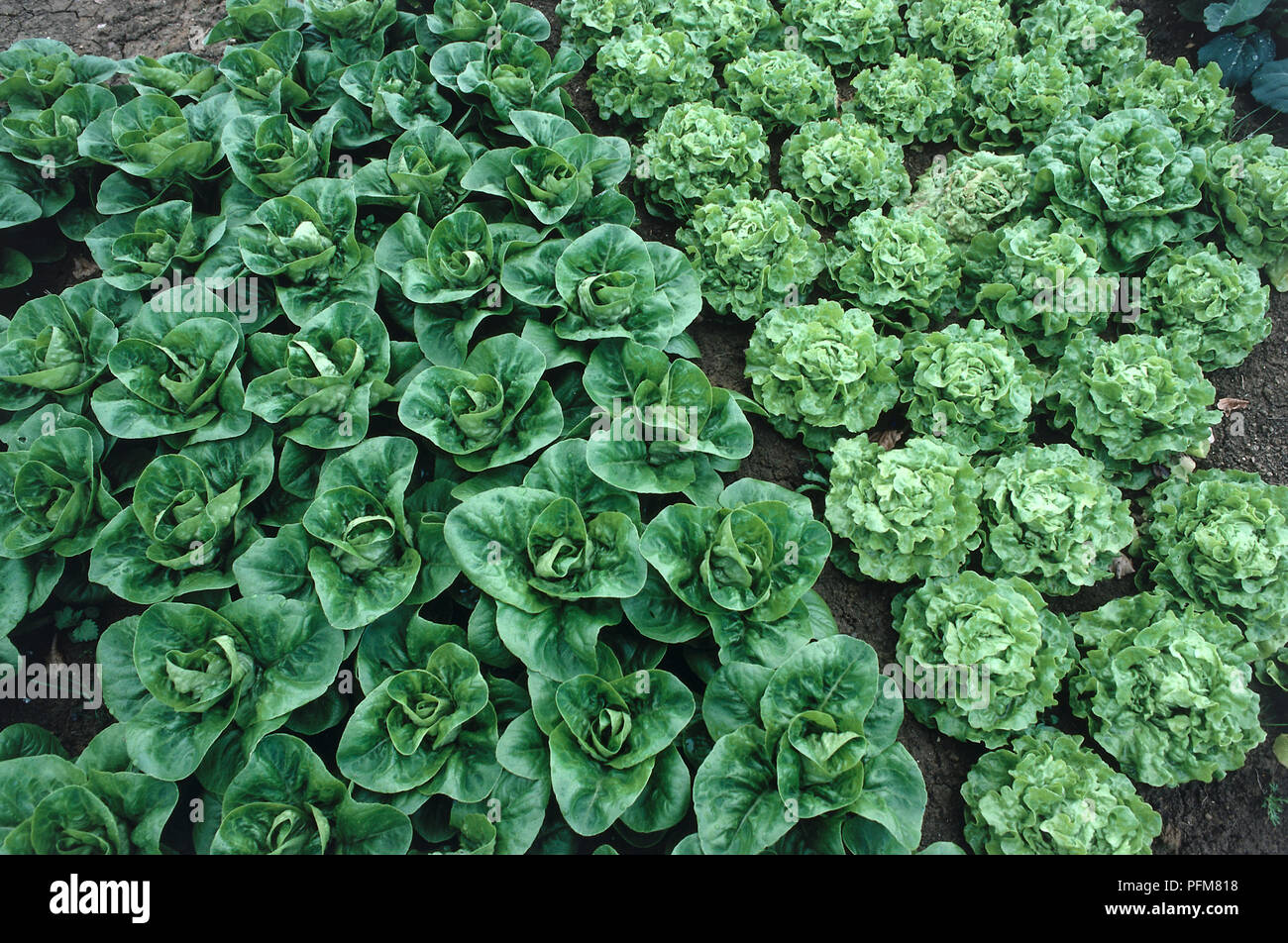Above view of planted lettuce showing how plants sown closely together in staggered rows to maximise available space. - Stock Image